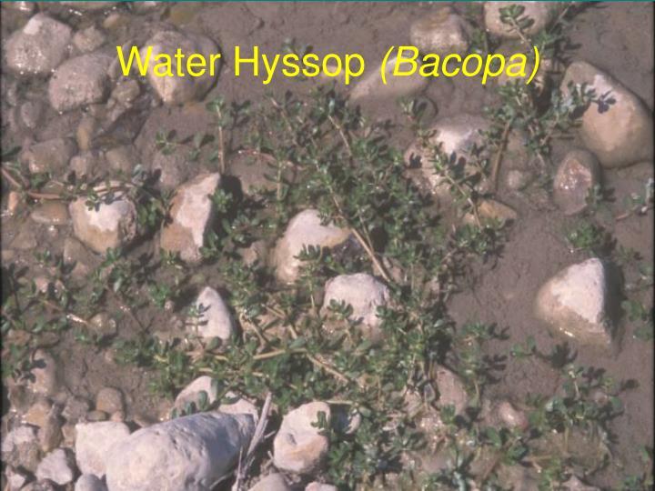 Water Hyssop