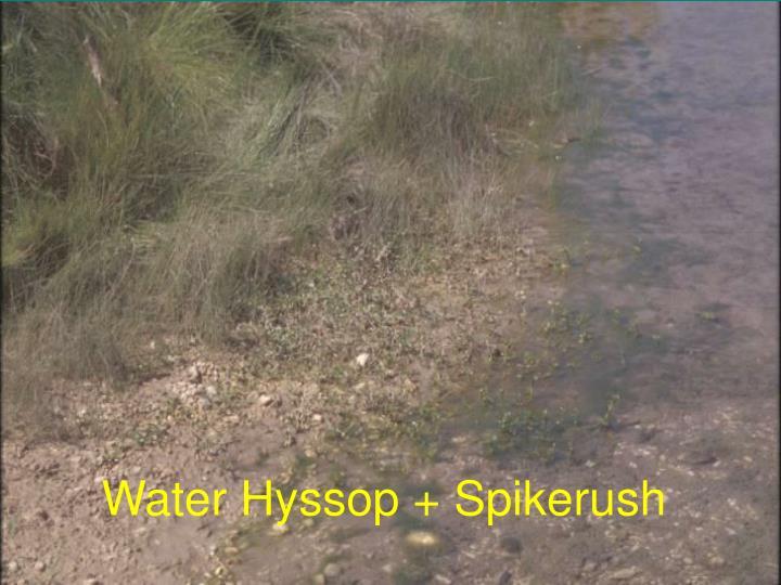 Water Hyssop + Spikerush