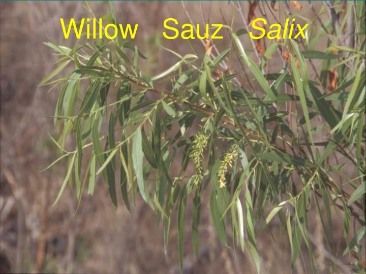 Willow   Sauz