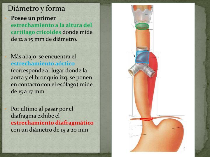 Diámetro y forma