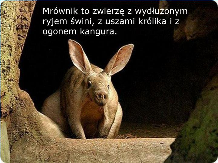 Mrównik to zwierzę z wydłużonym ryjem świni, z uszami królika i z ogonem kangura.