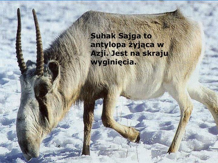 Suhak Sajga to antylopa żyjąca w Azji. Jest na skraju wyginięcia.