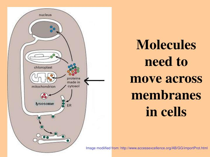 Molecules need to move across membranes in cells