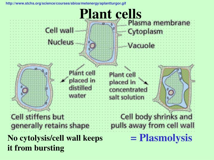 http://www.stchs.org/science/courses/sbioa/metenergy/aplantturgor.gif