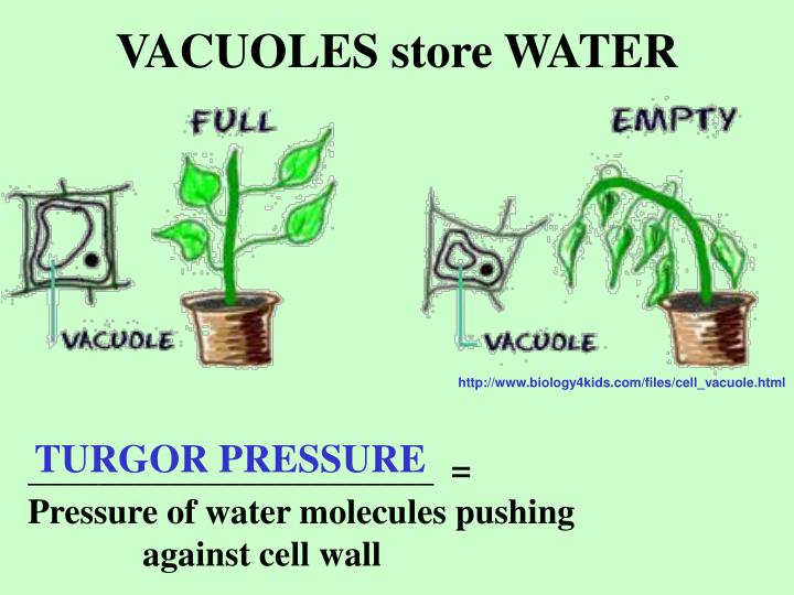 VACUOLES store WATER