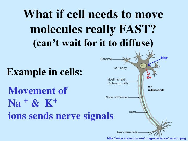 What if cell needs to move  molecules really FAST?