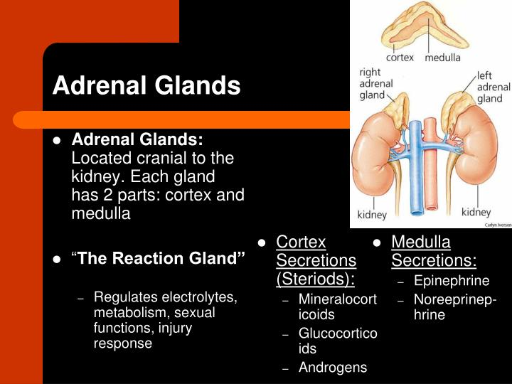 Cortex Secretions (Steriods):
