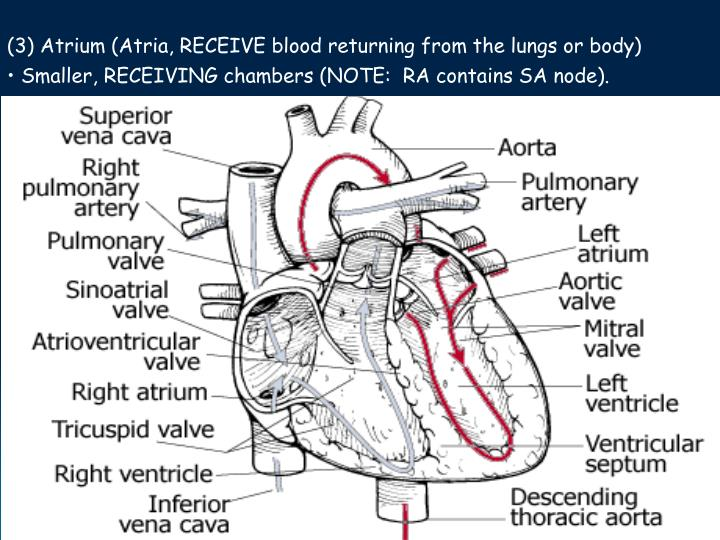 (3) Atrium (Atria, RECEIVE blood returning from the lungs or body)