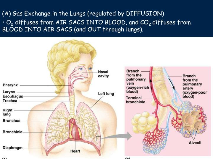 (A) Gas Exchange in the Lungs (regulated by DIFFUSION)