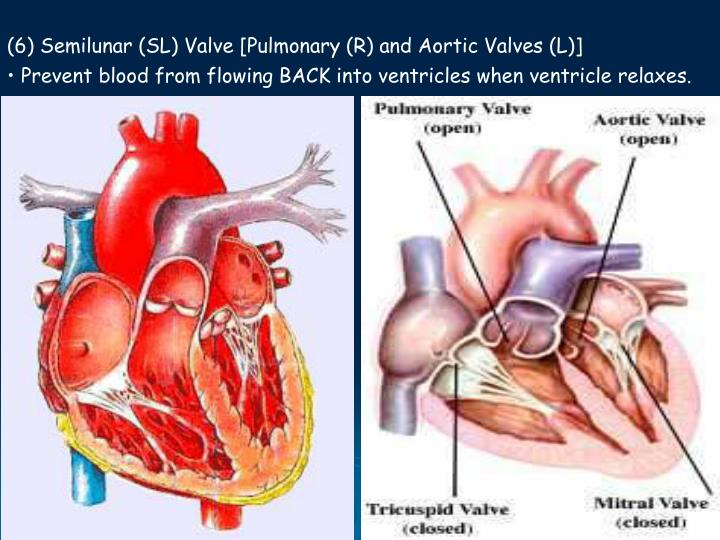 (6) Semilunar (SL) Valve [Pulmonary (R) and Aortic Valves (L)]