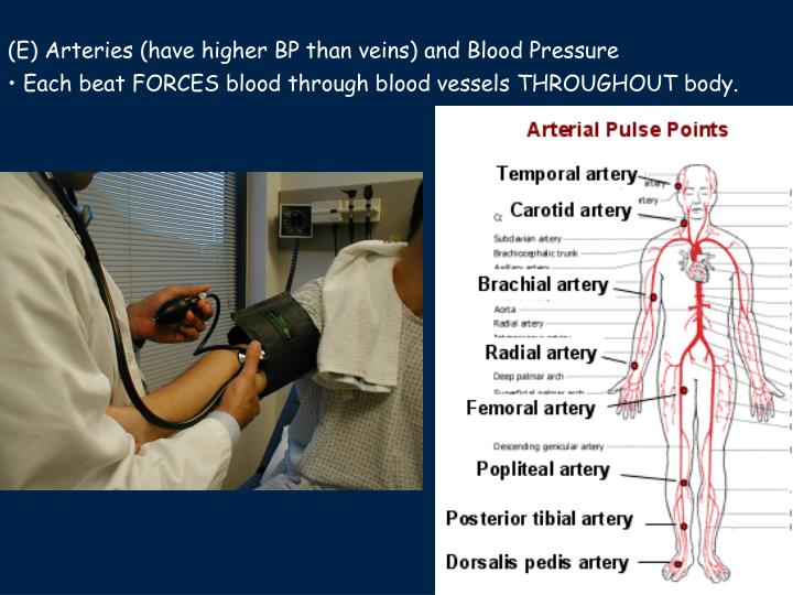 (E) Arteries (have higher BP than veins) and Blood Pressure
