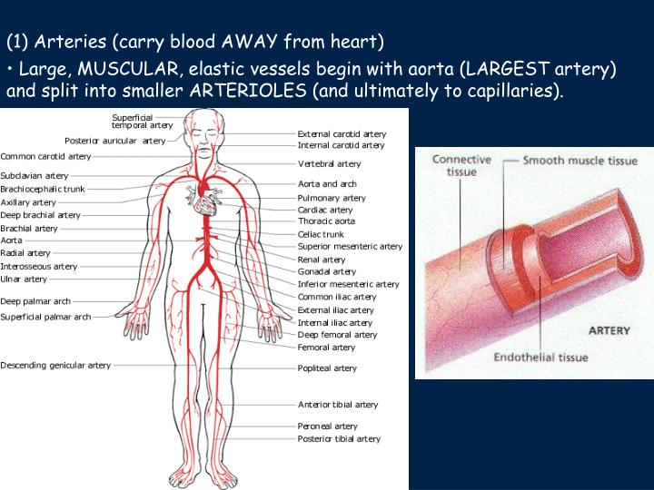 (1) Arteries (carry blood AWAY from heart)
