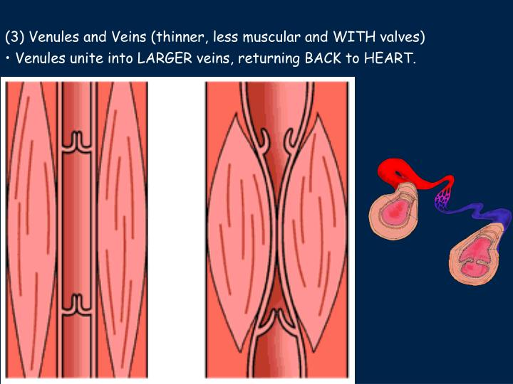 (3) Venules and Veins (thinner, less muscular and WITH valves)