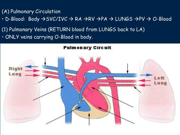 (A) Pulmonary Circulation