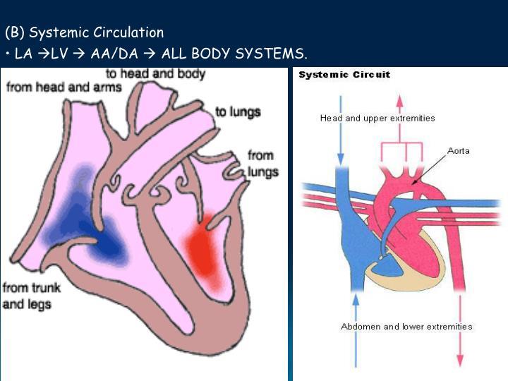 (B) Systemic Circulation