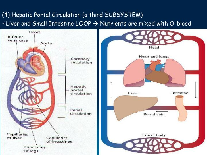 (4) Hepatic Portal Circulation (a third SUBSYSTEM)
