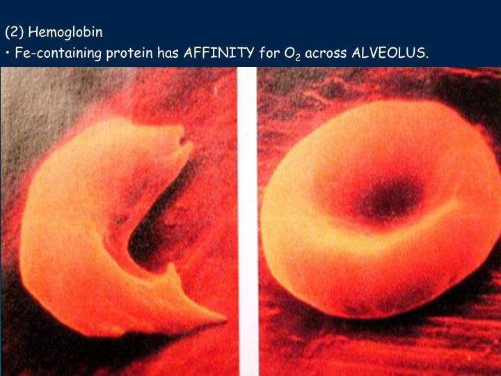 (2) Hemoglobin