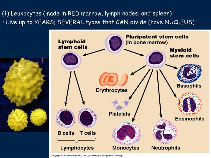 (1) Leukocytes (made in RED marrow, lymph nodes, and spleen)