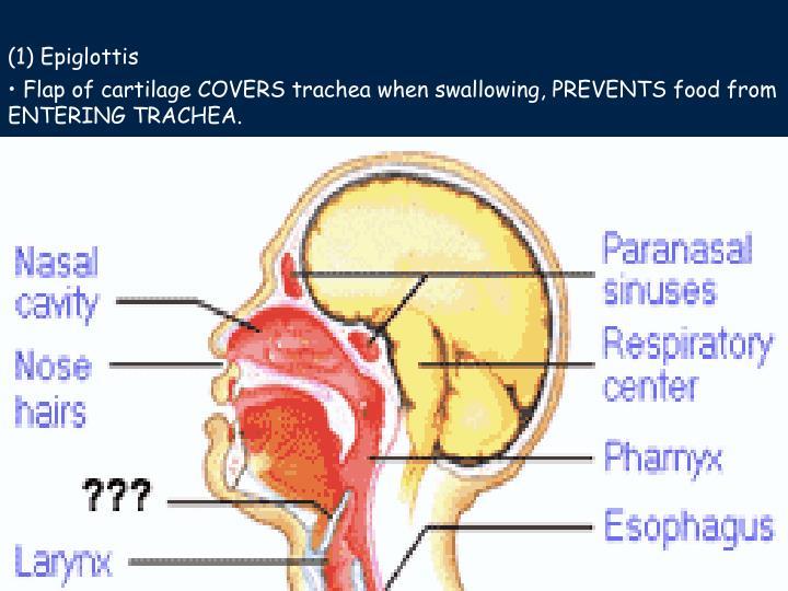 (1) Epiglottis