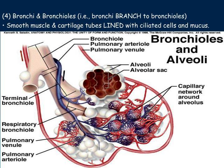 (4) Bronchi & Bronchioles (i.e., bronchi BRANCH to bronchioles)