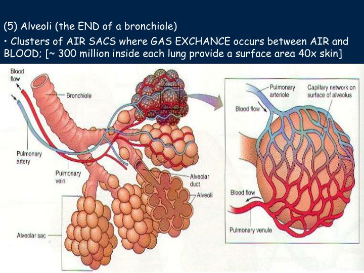 (5) Alveoli (the END of a bronchiole)