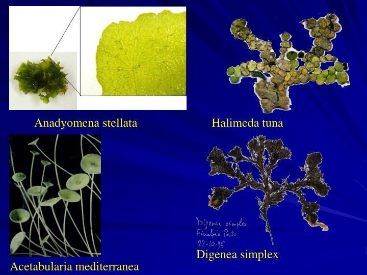 Anadyomena stellata