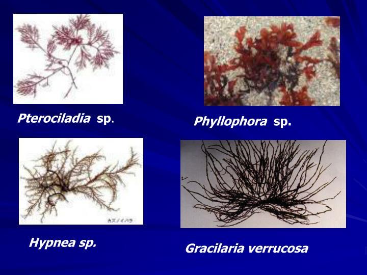 Pterociladia