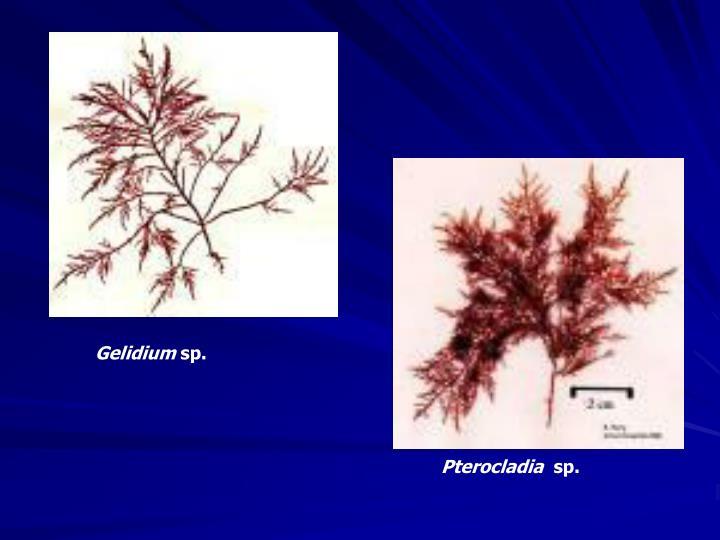 Gelidium