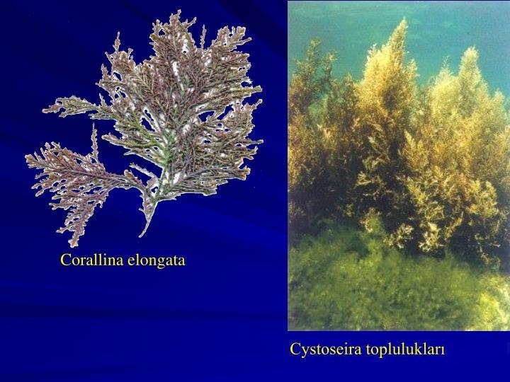 Corallina elongata