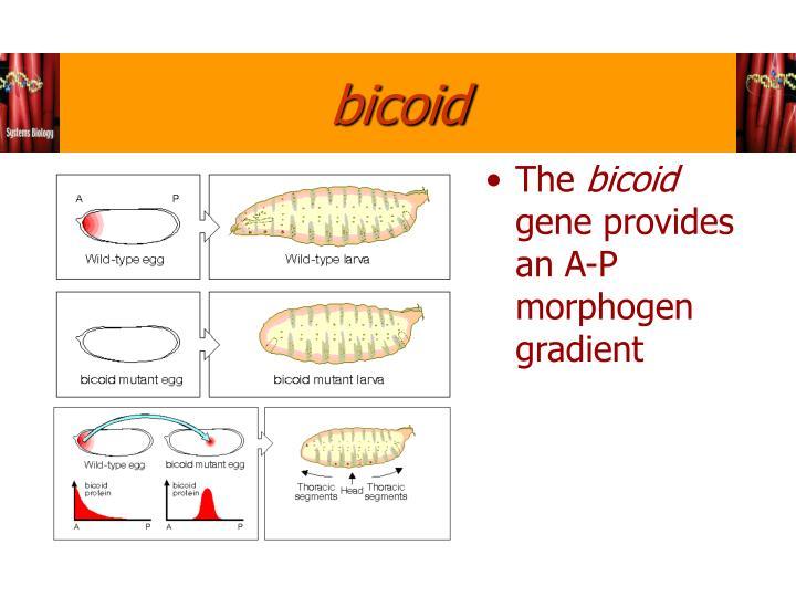 bicoid