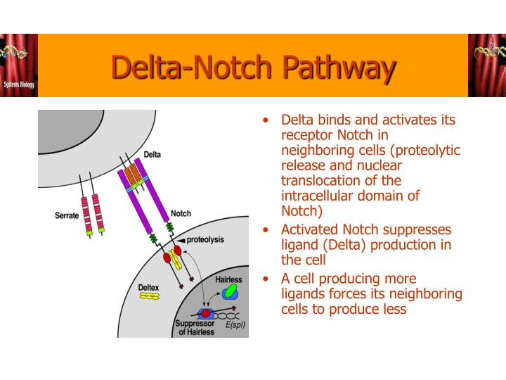 Delta-Notch Pathway