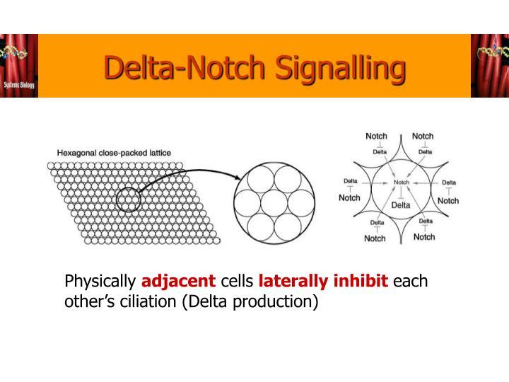 Delta-Notch Signalling