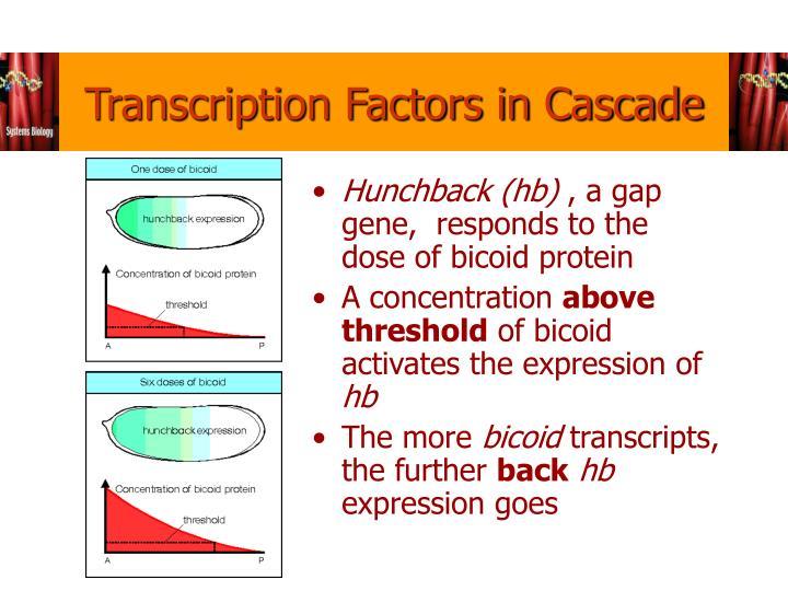 Transcription Factors in Cascade