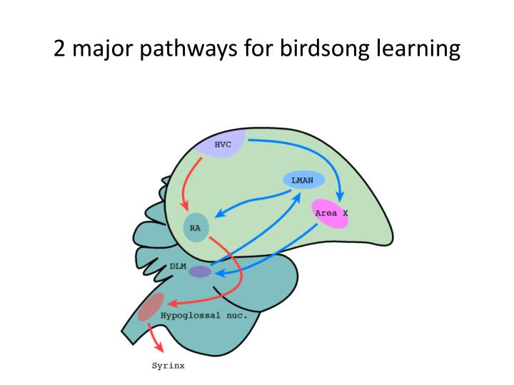 2 major pathways for birdsong learning