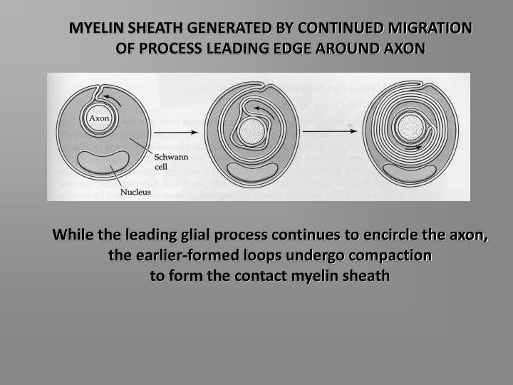 MYELIN SHEATH GENERATED BY CONTINUED MIGRATION