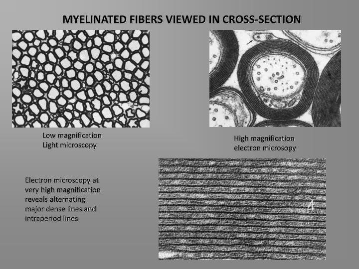 MYELINATED FIBERS VIEWED IN CROSS-SECTION