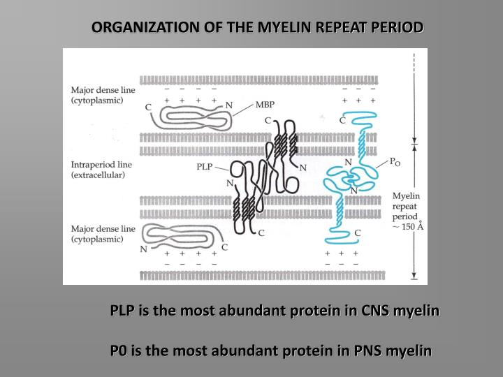 ORGANIZATION OF THE MYELIN REPEAT PERIOD