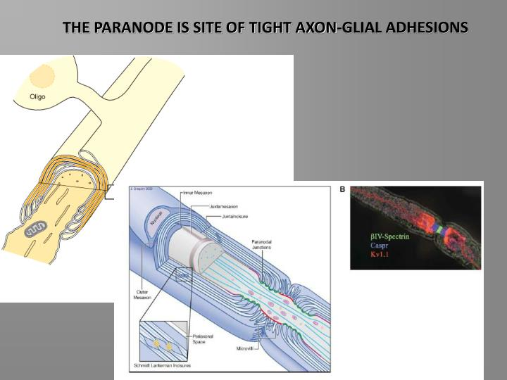 THE PARANODE IS SITE OF TIGHT AXON-GLIAL ADHESIONS