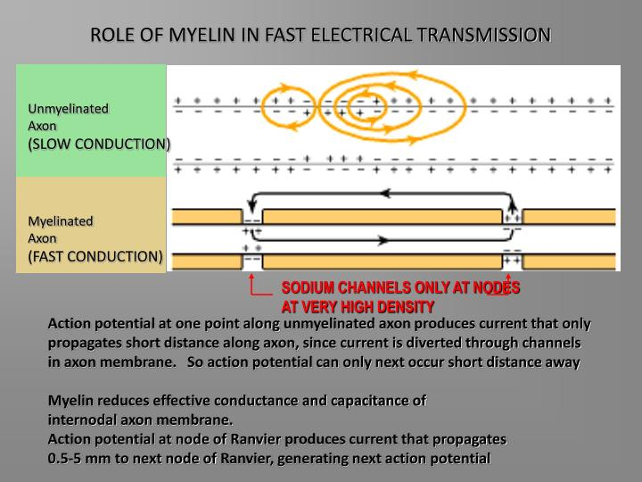ROLE OF MYELIN IN FAST ELECTRICAL TRANSMISSION