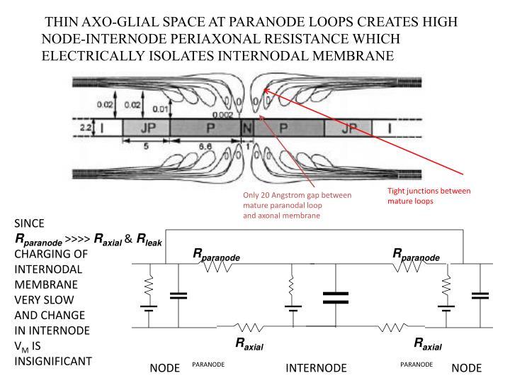 THIN AXO-GLIAL SPACE AT PARANODE LOOPS CREATES HIGH