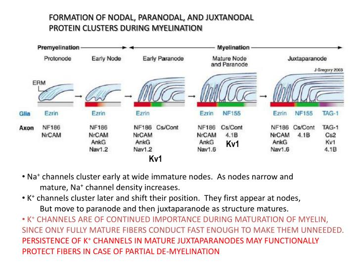 FORMATION OF NODAL, PARANODAL, AND JUXTANODAL