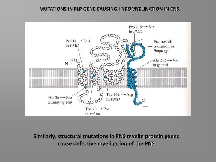 MUTATIONS IN PLP GENE CAUSING HYPOMYELINATION IN CNS