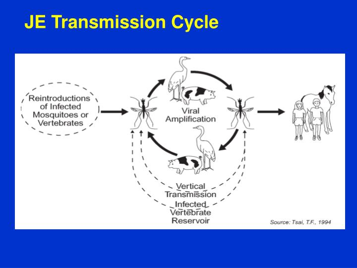 JE Transmission Cycle