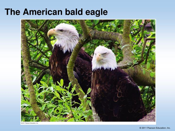 The American bald eagle