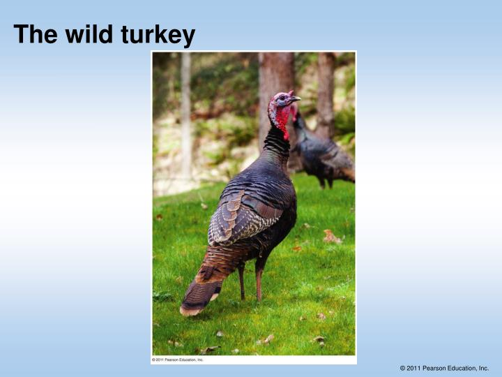 The wild turkey