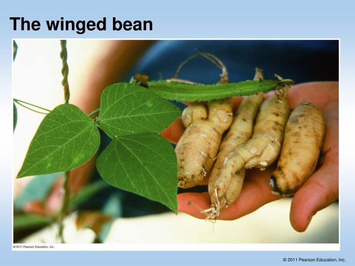 The winged bean