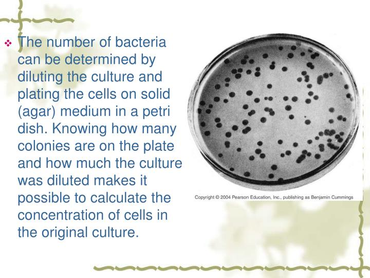 The number of bacteria can be determined by diluting the culture and plating the cells on solid (agar) medium in a petri dish. Knowing how many colonies are on the plate and how much the culture was diluted makes it possible to calculate the concentration of cells in the original culture.