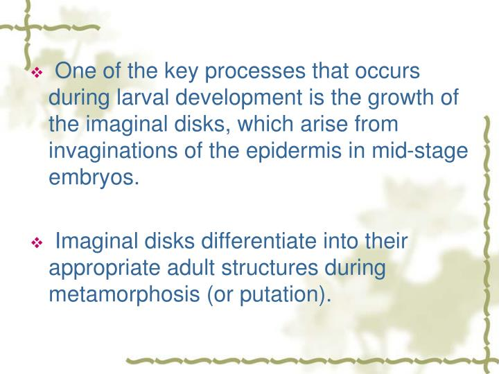 One of the key processes that occurs during larval development is the growth of the imaginal disks, which arise from invaginations of the epidermis in mid-stage embryos.