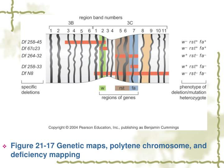 Figure 21-17 Genetic maps, polytene chromosome, and deficiency mapping