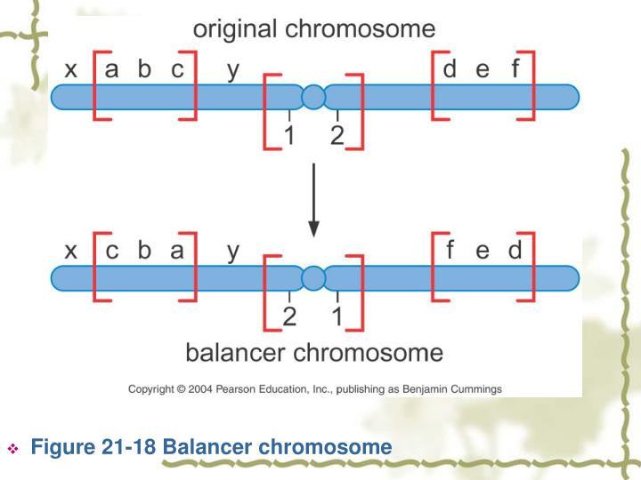Figure 21-18 Balancer chromosome